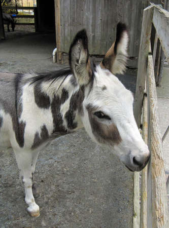 An adorable white and gray spotted donkey, standing by in fence in a barnyard,  peeks flirtatiously out of the corner of one eye.