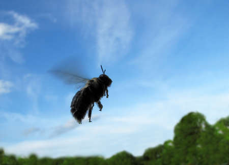 pollinator: Close-up of a bee in flight across a blue sky with trees in the background. Stock Photo