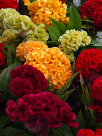 Closeup of Celosia Cristata flowers, available in a variety of colors.