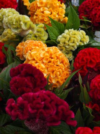Nahaufnahme von Celosia cristata Blumen, erhältlich in einer Vielzahl von Farben. Standard-Bild - 10352039