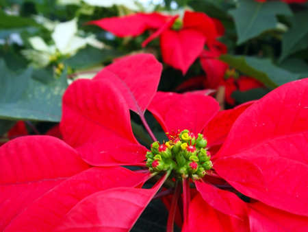 Closeup of a red poinsettia flower with foliage and white poinsettias in the background. Stock Photo - 11370490