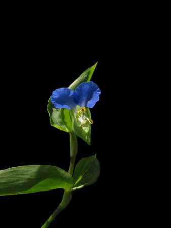 lobelia: A perfect blue Lobelia flower isolated on black.                                Stock Photo