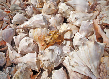 Pile of many conch shells in the sunshine, background image  Stock Photo - 12713334