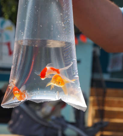 midway: Three goldfish swim in a plastic bag at a carnival before going home with the lucky winner of a midway game