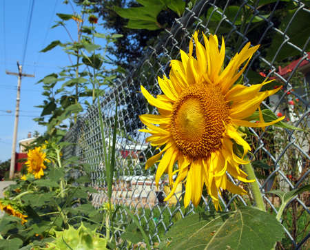 Sunflowers grow in the city along the side of a chain link fence in the alley