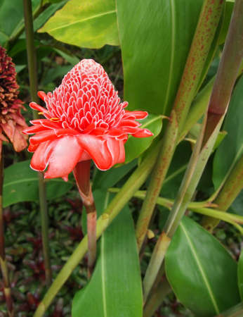 phillipine: A brilliant pink and white Torch Ginger  Etlingera elatior  blossoms among the tropical foliage