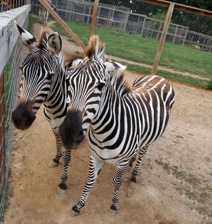 A pair of friendly zebras stand close to each other gazing curiously at the viewer.