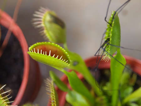 cilia: A Venus Fly Trap plant in action, with one lobe actually digesting a large spider, whose long legs can be seen flapping about, outside the trap  Closeup on cilia of an open lobe