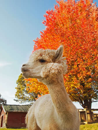 A white alpaca gazes off thoughtfully in front a vibrant orange tree and a small red barn, on a farm in the autumn  photo