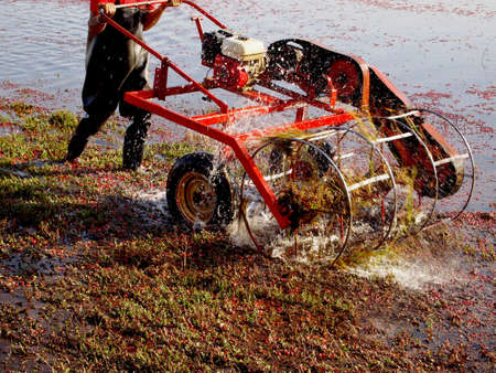 waders: A man wearing waders pushes a water reel harvester through a cranberry bog. Stock Photo