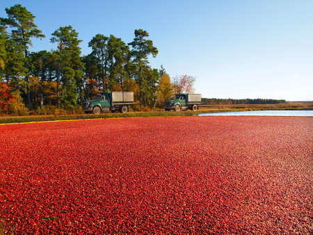 Trucks for transporting cranberries off to a processing plant drive along the edge of the vibrant, red berry filled bog, in the Pine Barrens area of New Jersey