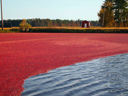 Freshly picked cranberries float at the surface of the flooded bog, where they are being coralled into a designated area