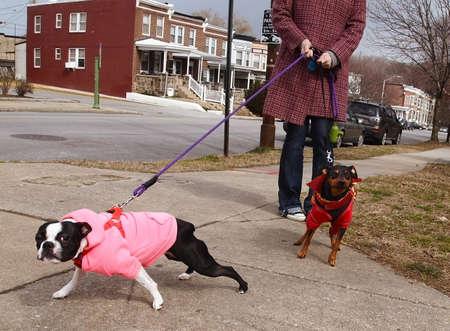 dog on leash: Dos perros bien vestidos (Boston Terrier) esforzarse y tirar de las correas con su due�o en una caminata en un barrio urbano en un d�a de invierno. Foto de archivo