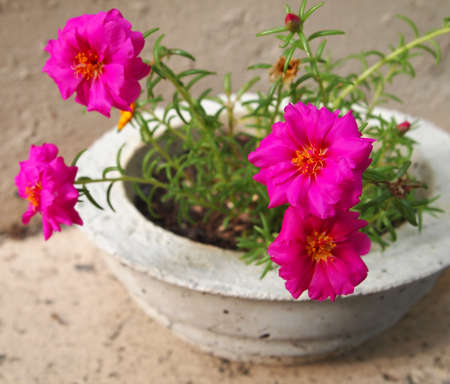 Bright fuschia colored Portulaca blossoms in a homemade concrete planter. Stock Photo