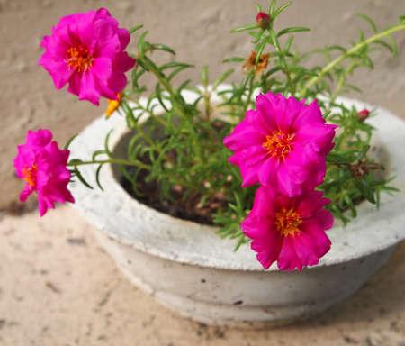 Bright fuschia colored Portulaca blossoms in a homemade concrete planter. Stock Photo