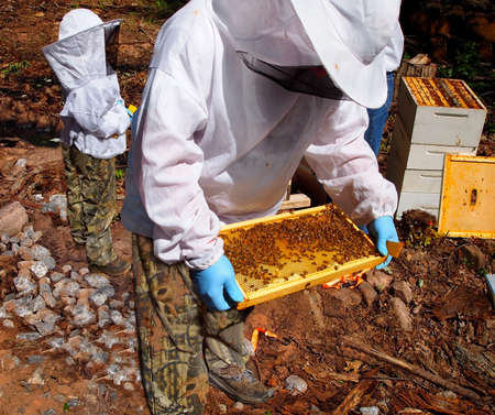 Two beekeepers wearing full bee suits attend to their honey bee hives on a sunny day  Stock Photo