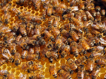 Productive members of a healthy honeybee colony working in their hive  Stock Photo