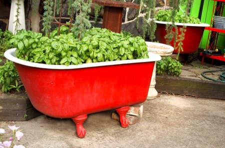 Lush, dichtbegroeid, basilicum kruid groeit in een vintage rode clawfoot bad in een patiotuin.