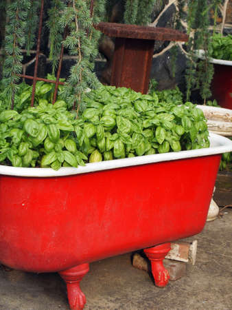 Lush, abundant basil growing in a vintage claw foot bathtub, painted red, on the patio.