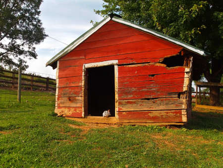 sneaks: A white bunny rabbit with black markings sneaks into an old red barn on a farm  Stock Photo