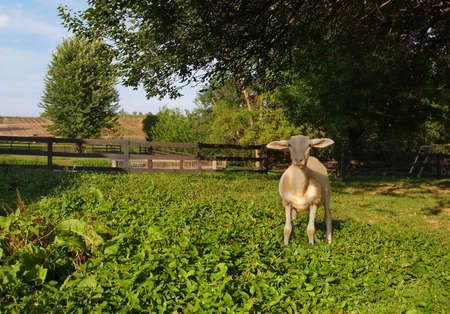 A friendly sheep on the farm with his wool shorn off for the summer stares at the viewer   Stok Fotoğraf
