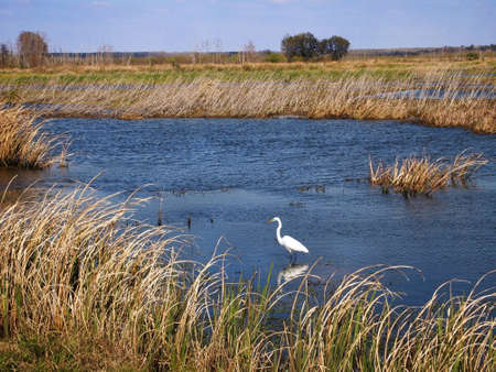 A Great Egret wades in the water of a marshland area in the southern United States