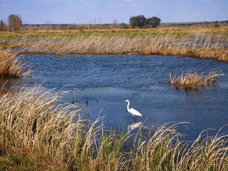 Een Grote Zilverreiger waadt in het water van een moerasgebied in het zuiden van de Verenigde Staten