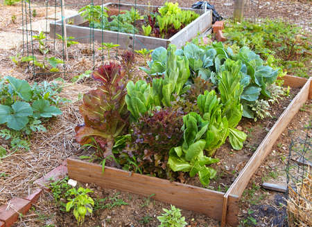 A raised garden bed with a variety of organic lettuces and greens growing together