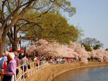 WASHINGTON DC - APRIL 10  Throngs of tourists visit the National Cherry Blossom Festival at the tidal basin on April 10, 2013 in Washington, DC