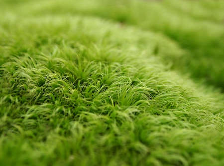 A natural background image featuring closeup macro photography of living green moss.