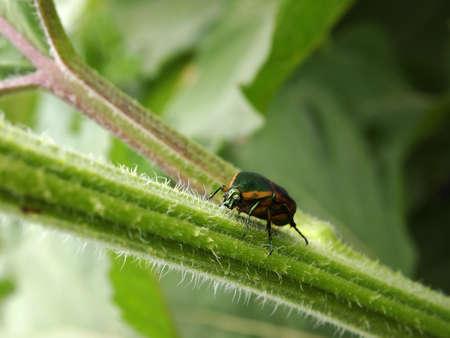 scarabaeidae: An iridescent Green June Beetle climbs up a hairy stalk in a garden.