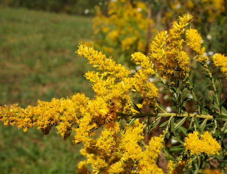 A busy honey bee is working at pollinating in a patch of Goldenrod plants.
