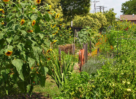 A red rubber garden hose is wrapped around its hose hanger on a wooden post in a large urban flower and vegetable garden. Stock Photo