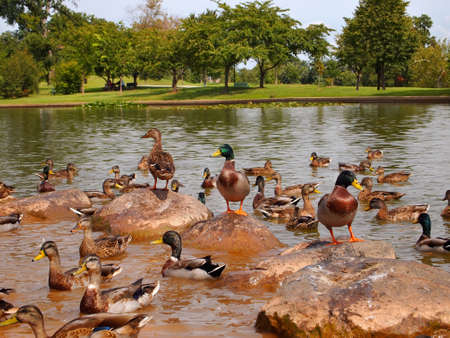 A grouping of wild Mallard ducks enjoy a sunny afternoon on a grouping of rocks in a pond.
