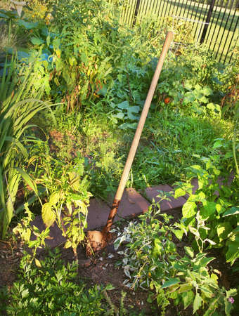 A wooden handled garden shovel stands propped in the dirt in a green vegetable garden in the summer. Stock Photo