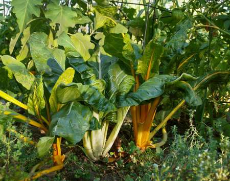 Colorful yellow and white stalked Swiss Chard greens growing in a vegetable garden in the summer.