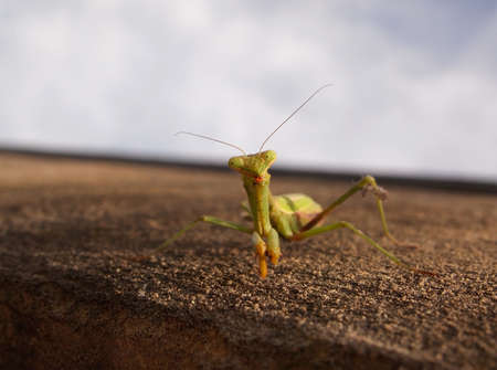 Closeup of a green praying mantis on a concrete wall looking directly at the viewer.