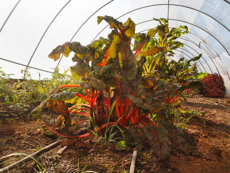 Swiss Chard plants with bright red stalks growing in a greenhouse.