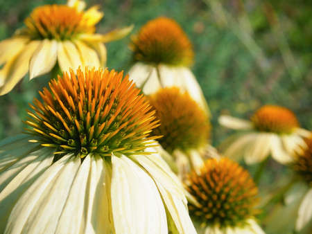 A closeup view of a creamy white petaled coneflower in a garden of blossoms. Stock Photo