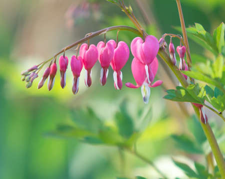 out of focus: Close up of Bleeding Heart Flowers in the garden with out of focus leaves