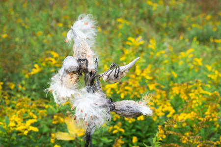 wild silky white: Milkweed Pods burst to release their seeds in a green field with yellow Goldenrod flowers. Stock Photo