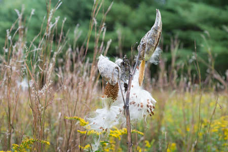 wild silky white: Milkweed Pods burst to release their seeds in field with tall grass and green trees in background.