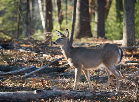 forest trees: Close up of an Alert White Tail Deer in the forest in Catskill mountains in upstate New York during the winter.