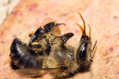 A dead honey bee showing many details of body, legs and mouth parts.