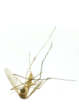 A dead mosquitofly on its back, wings folded and legs twisted. Isolated over white background. Stock Photo