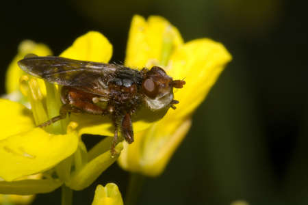Red Thick-headed fly on a yellow flower