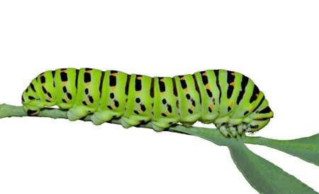 rutaceae: Una oruga verde en un Rutaceae steem aislados durante un fondo blanco.