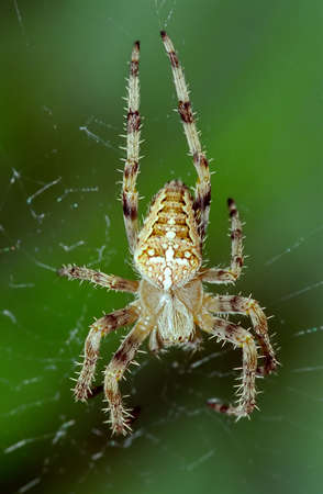 arachnida: A brown spider on its web against a green background Stock Photo