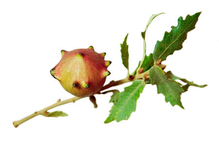 An apple gall on a twig with some oak leaves.