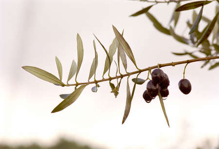 Black olives on a twig with some olive-tree leaves wet from rain. Stock Photo